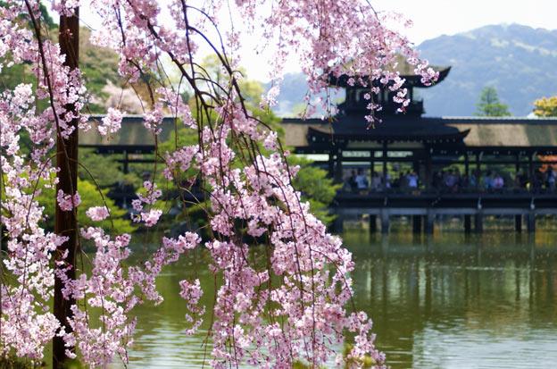 Ботанический сад Киото цветущая сакура