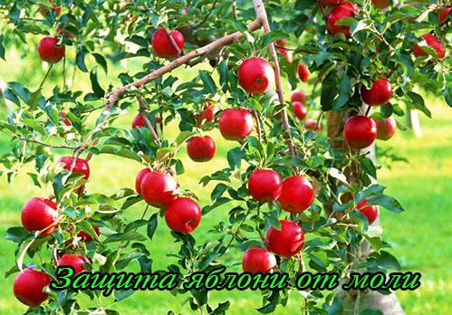 Защита яблони от яблонной моли