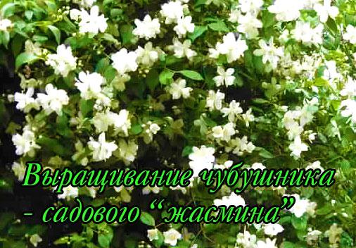 Посадка и выращивание чубушника - садового жасмина